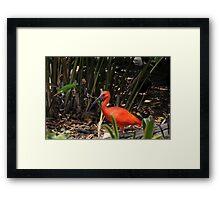 Scarlet Ibis 2 Framed Print