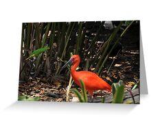 Scarlet Ibis 2 Greeting Card