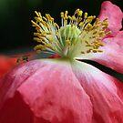 Bug on a Poppy by ChereeCheree