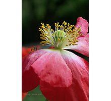 Bug on a Poppy Photographic Print