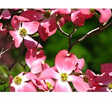 Red Dogwood Photographic Print
