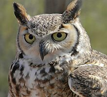 Young Horned Owl by Kathleen Brant