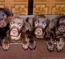 Litter of Chocolate Labrador's  by tawaslake