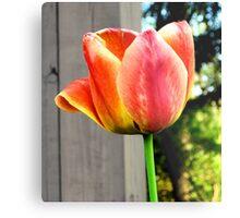 Multi-Colored Tulip Metal Print