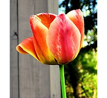 Multi-Colored Tulip Photographic Print