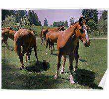 Freiberger Horse Poster