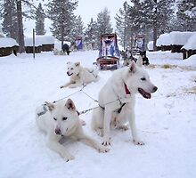 Husky Sleighs - Lapland, Sweden by Honor Kyne