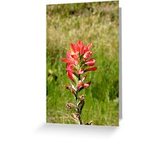 A single Indian Paint Brush Greeting Card