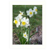 Daffodils 2 Art Print