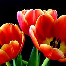 Tulips by Janine  Hewlett