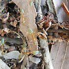 green ants on paperbark by harveyincairns