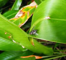 fly on leaf by harveyincairns