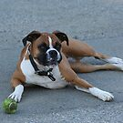Ginger Rodgers - German Boxer by organic
