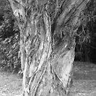 paperbark split trunk by harveyincairns