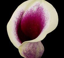violet calla lili by Jan Prchal