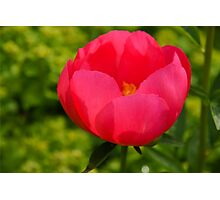 Vivid Spring - Impossibly Pink Peony Unfolding Photographic Print
