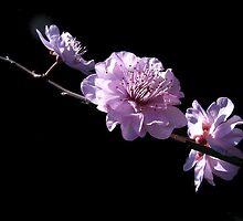 The Poetry of Prunus. by Floralynne