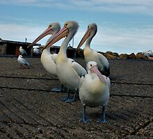 PELICAN FAMILY by Cheryl Hall