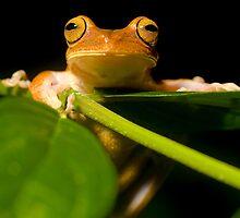 treefrog in Bahia, Brazil by robinmoore