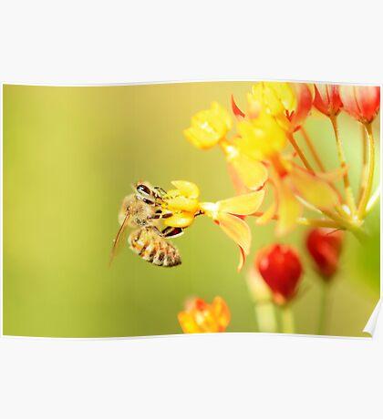 Bee on Milkweed Poster