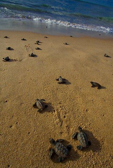 hawksbill turtle hatchlings in Bahia, Brazil by robinmoore