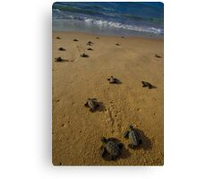 hawksbill turtle hatchlings in Bahia, Brazil Canvas Print