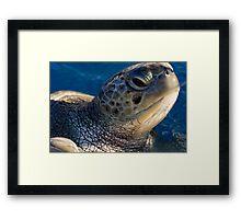 Green turtle, Chelonia mydas, in Bahia Framed Print