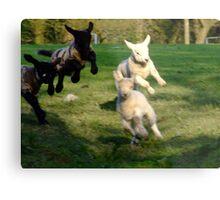 Leaping Lambs Metal Print