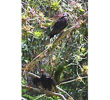 Turkey Vultures (Cuba) Photographic Print