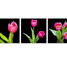 Tulips...1, 2, 3... by lisa1970