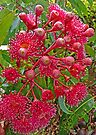 "Eucalyptus ""Summer Red"" (3) by Margaret  Hyde"