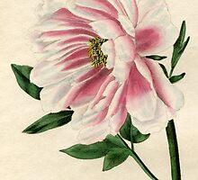 Paeonia moutan or Poppy-flowered Tree Paeony by chrisrob