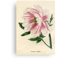 Paeonia moutan or Poppy-flowered Tree Paeony Metal Print