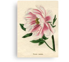 Paeonia moutan or Poppy-flowered Tree Paeony Canvas Print
