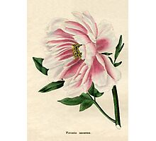 Paeonia moutan or Poppy-flowered Tree Paeony Photographic Print