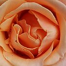 Rose - Apricot by Sandy1949