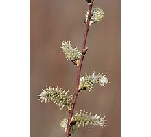 Pussy Willow in Bloom Photographic Print