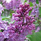 Lilacs II by Nancy Polanski