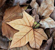 Fallen - Autumn Leaves in Oakbank by LeeoPhotography