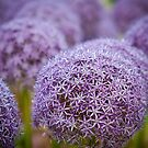 Purple Allium Flower by Jim Felder