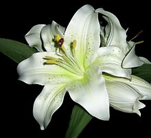Black and White... (Lilium) Free state, South Africa by Qnita