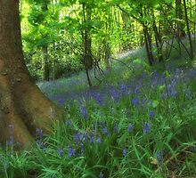 Bluebell Wood by Alan E Taylor
