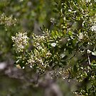 White young bush flowers Westerfolds Park 201412271392  by Fred Mitchell
