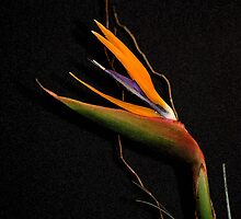 """""BIRD OF PARADISE #4 (FUTURE ""DIGIGRAPHIE"") by Karo / Caroline Evans (Caux-Evans)"