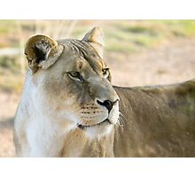Lioness on alert Photographic Print