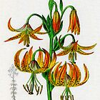 Lilium superbum or Superb Lily by chrisrob