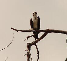 , Osprey  by eltotton