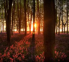 DAWN OVER BLUEBELLS by GlennB