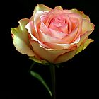 Pink Yellow Rose by Swede