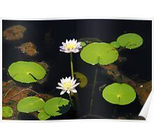 Water Lillies- Fogg Dam   NT Poster
